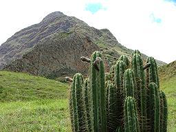 san-pedro-cactus_med